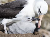 Mollymawk Chick with Adult Bird on Nest Falkland Islands