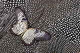 Paper Kite Tropical Butterfly on Helmeted Guineafowl