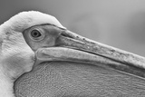 Walvis Bay  Namibia Extreme Close-up of Eastern White Pelican