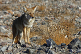 California  Death Valley NP A Coyote in the Wild at Death Valley