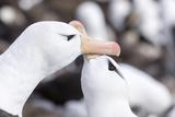 Black-Browed Albatross Greeting Courtship Display Falkland Islands