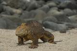 Galapagos Land Iguana  North Seymour Island Galapagos Islands  Ecuador