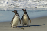 Falkland Islands  Sea Lion Island Magellanic Penguins on Beach