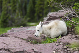 USA  MT  Glacier NP Logan Pass Mountain Goat Kid Hunkers Down in Cold