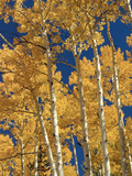 Golden Colored Aspen Trees  Coconino National Forest  Arizona