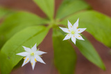 Blooming Starflower in a Durham  New Hampshire Forest