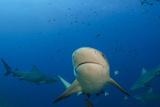 Bull Shark  Commercial Shark Feeding  Benga Lagoon  Viti Levu  Fiji