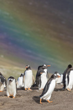 Gentoo Penguin on the Falkland Islands  Rookery under a Rainbow