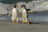 Falkland Islands  Sea Lion Island Gentoo Penguins Arguing on Beach