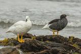 Falkland Islands  Carcass Island Pair of Kelp Geese