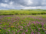 Isle of Lewis  Machair with Red Clover (Trifolium Pratense) Scotland