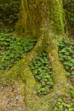 USA  California  Redwoods National Park Clover at Tree Base