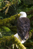 Raptor Center  Sitka  Alaska Close-up of a Bald Eagle Sitting in Tree