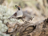 USA  Arizona  Buckeye Male and Female Gambel's Quail on Log
