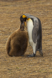 Falkland Islands  East Falkland King Penguin Parent Feeding Chick