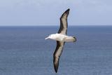 Black-Browed Albatross or Mollymawk  Flight Shot Falkland Islands