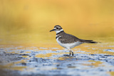 Wyoming  Sublette Co  Killdeer in Mudflat with Gold Reflected Water