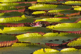 Victoria Amazonica Lily Pads on Rupununi River  Southern Guyana