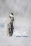 Cape Washington  Antarctica an Emperor Penguin Chick