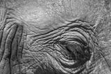 Botswana  Chobe NP  Eyeball of Elephant Standing Along Chobe River
