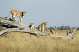 Botswana  Chobe NP  Lioness and Cubs Climbing on Acacia Tree