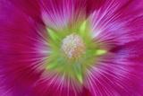 USA  Washington State  Seabeck Hollyhock Blossom Close-up