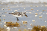 Sanderling (Calidris Alba) Running on Beach Papier Photo par Larry Ditto
