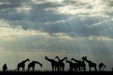 Botswana  Chobe NP  Herd of Giraffes Feeding Along Chobe River's Banks