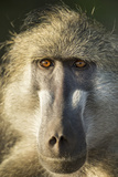Botswana  Chobe NP  Portrait of Chacma Baboon Sitting in Morning Sun