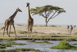 East Kenya  Outside Amboseli NP  Pair of Maasai Giraffe at Waterhole
