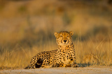Botswana  Moremi Game Reserve  Cheetah Resting on Low Rise at Dawn