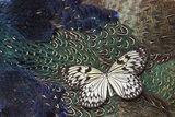 Paper Kite Butterfly on Breast Feathers of Ring-Necked Pheasant Design