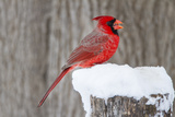 Northern Cardinal (Cardinalis Cardinalis) Adult Feeding in Snow