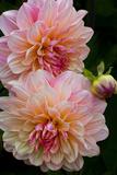 USA  Oregon  Shore Acres State Park Close-up of Dahlia Flowers