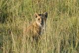 Kenya  Maasai Mara  Mara Triangle  Mara River Basin  Lion Cubs