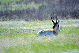 The American Pronghorn  a Buck Rests in the Grass