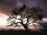 USA  California  View of Silhouetted Bare Tree in Dusk