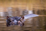Botswana  Moremi Game Reserve  Hippopotamus Swimming in Khwai River