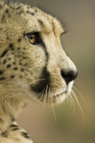 Livingstone  Zambia Close-up of Cheetah Profile