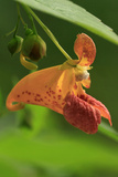 USA  Oregon  USA  Oregon Close-up of Jewelweed Flower
