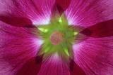 USA  Washington State  Seabeck Hollyhock Blossom Composite