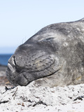 Southern Elephant Seal Males are Social after the Breeding Season