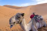 Morocco  Sahara Desert Sand Dunes Close Up of Camel for Rides