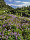 USA  Oregon  Mount Hood Wilderness Lupine in Elk Cove