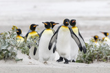 Falkland Islands  South Atlantic Group of King Penguins on Beach
