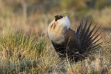Sage Grouse  Courtship Display