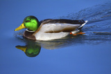 Male Mallard  Reflection  Commonwealth Lake Park  Beaverton  Oregon