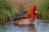 Northern Cardinal (Cardinalis Cardinalis) Adult Male Bathing