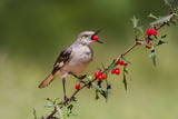 Northern Mockingbird (Mimus Polyglottos) Eating Agarita Fruits