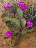 Prickly Pear Cactus  in Bloom  Valley of Fire State Park  Nevada  USA